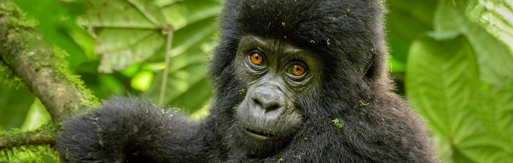 Rwanda gorilla tours