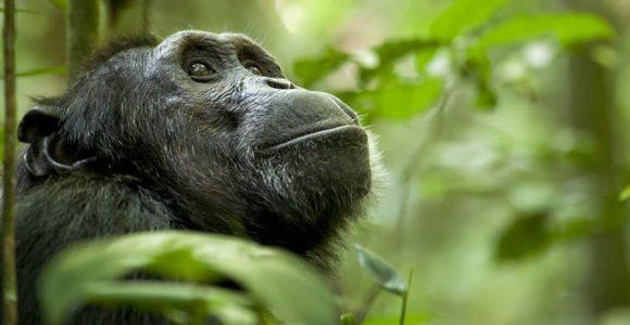 Chimpanzee in Nyungwe forest
