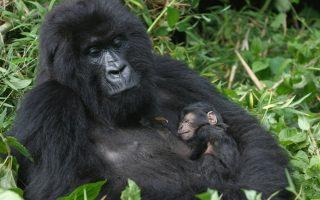 4 Days Rwanda Gorilla Trekking & Dian Fossey Safari