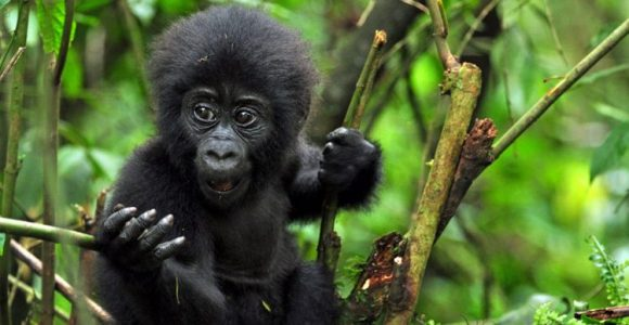 3 Days Gorillas in Uganda & Fly out of Kigali