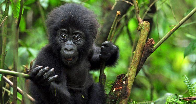3 Days Gorillas in Uganda & Fly out of Kigali