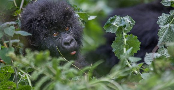 Bwindi Gorilla Trekking and Masai Mara Safari