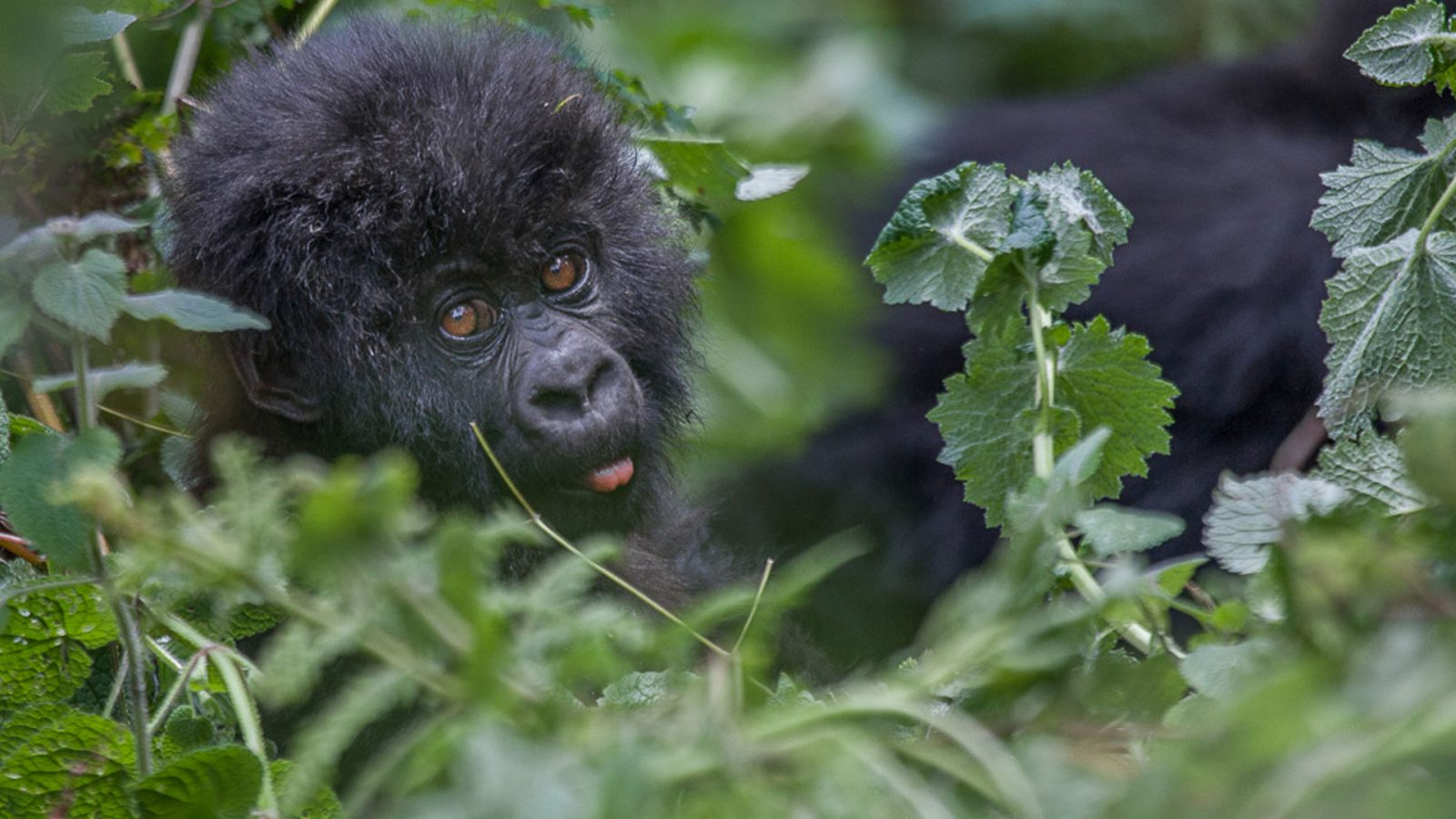 Bwindi Gorilla Trekking and Masai Mara Safari