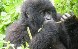 12 Days Uganda, Congo and Rwanda Safari