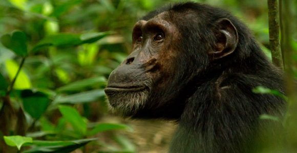 3 Days Nyungwe Chimpanzee Tracking
