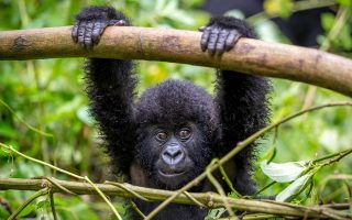 5 Days Uganda Gorillas, Golden Monkeys & Kivu