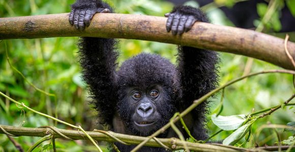 dicounted permits to see Gorillas in Uganda