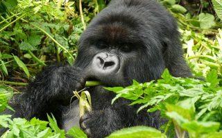 3 Days Flying Uganda Gorilla Trekking Safari - Bwindi