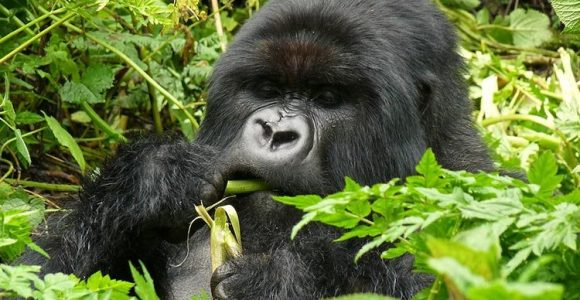 3 Days Flying Uganda Gorilla Trekking Safari - Bwindi