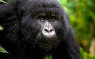 10 Days Rwanda and Congo Safari