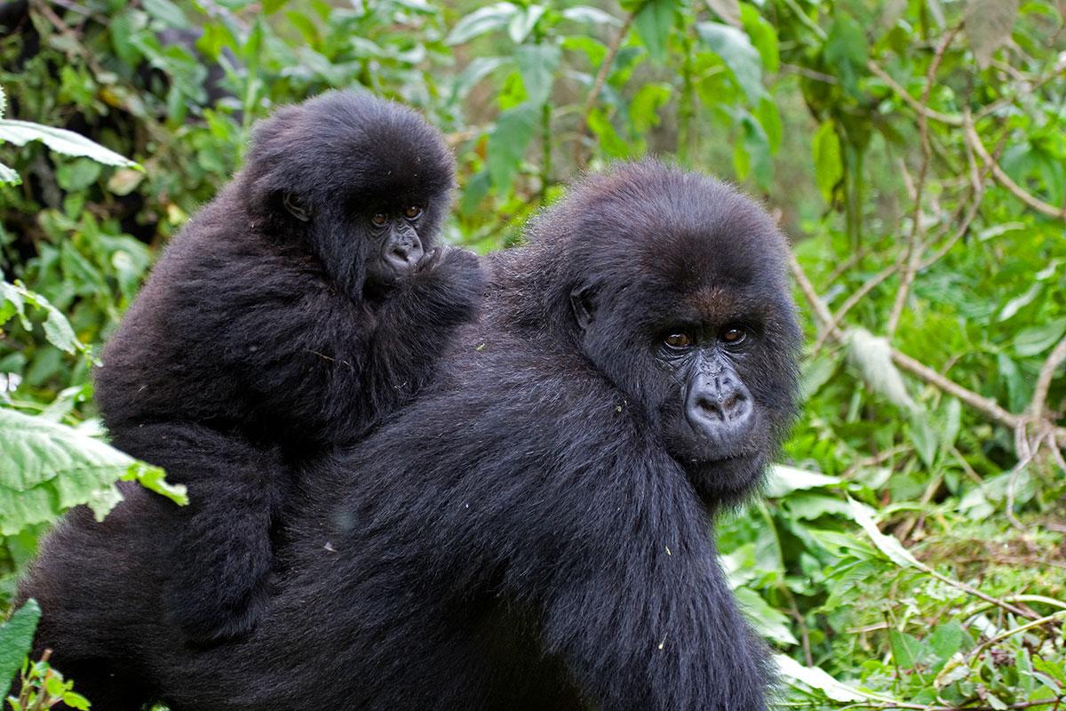3 Days Bwindi Gorilla Trekking from Kigali