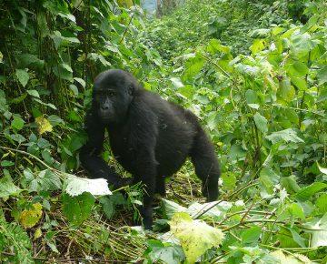 Virunga mountain gorilla
