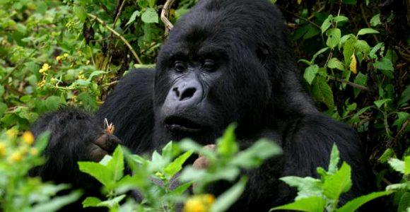 5 Days Ngamba Island & Bwindi Safari