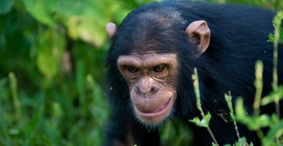 5 Days Uganda Gorillas & Chimpanzee Tracking