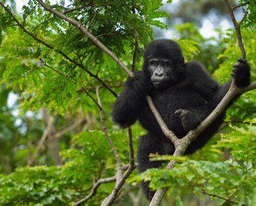 Covid-19 Gorilla trekking in Uganda