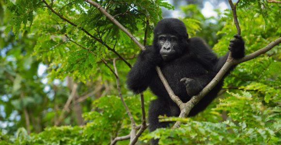 Uganda Gorilla from Kigali