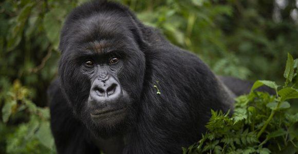 near family gorilla trekking for seniors