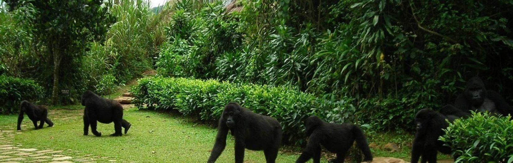 3 Days Uganda Gorilla Habituation experience Bwindi
