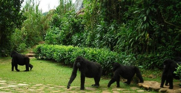 3 Days Uganda Gorilla Habituation experience Bwindi