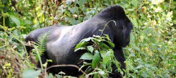 Mountain Gorilla - Virunga National Park