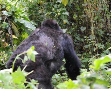 mountain Gorilla in Bwindi impenetrable national park