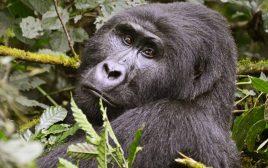 mountain gorilla seen in Bwindi