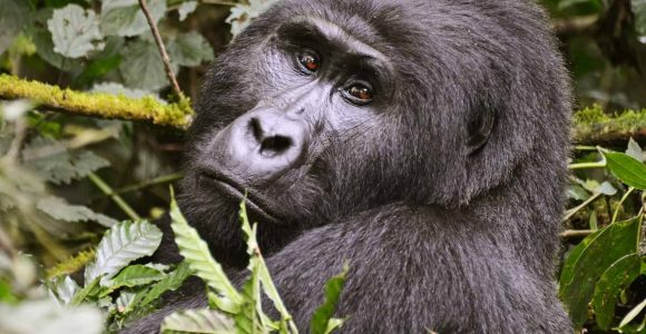 mountain gorilla seen in Bwindi