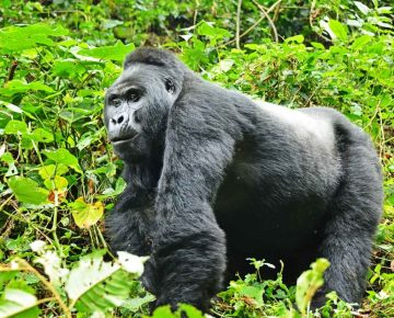 cheapest way to see Gorillas in Bwindi forest