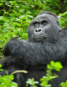 Mountain Gorilla in Rwanda Volcanoes