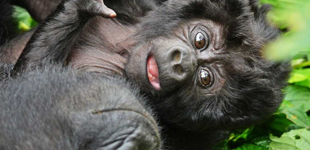 baby gorilla Bwindi Group Gorilla trekking