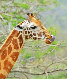 see giraffes in Akagera NP