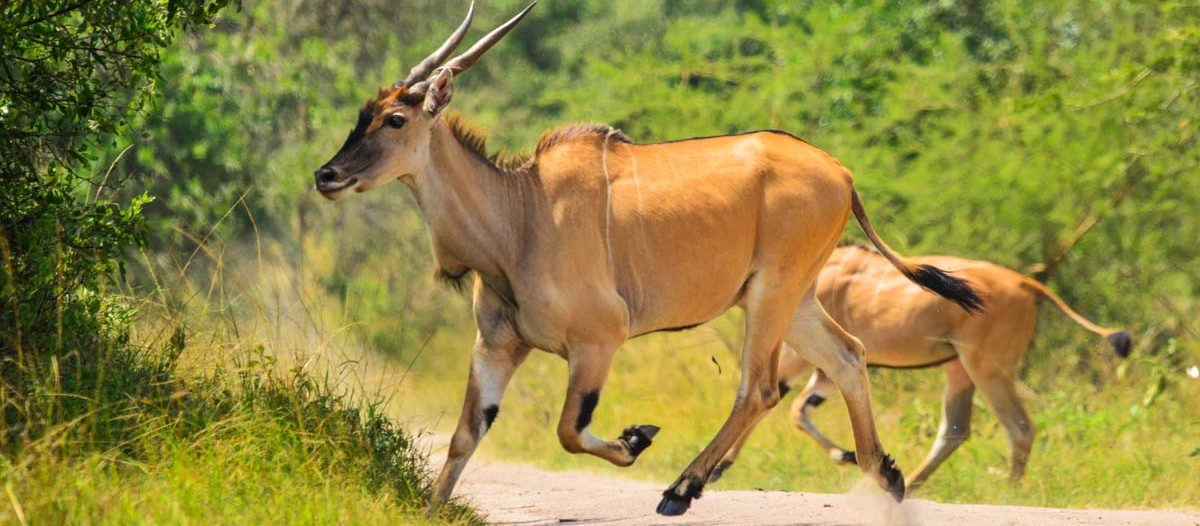 Eland seen on 10 Days Rwanda Safari at Akgera