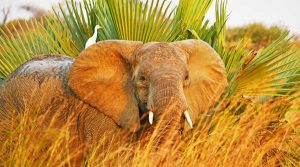 Giant Elephant in Murchison Falls Uganda