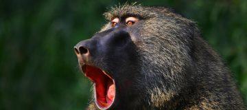 mgahinga national park golden monkey
