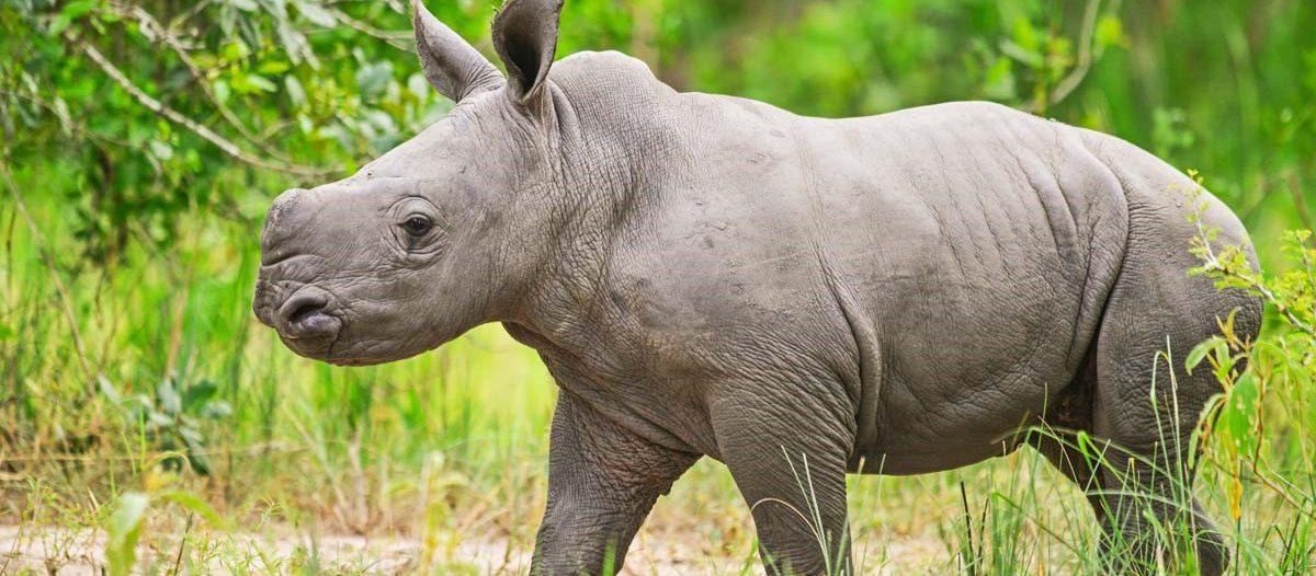 white rhino seen in Uganda